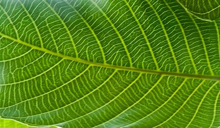 Texture of teak leaf photo