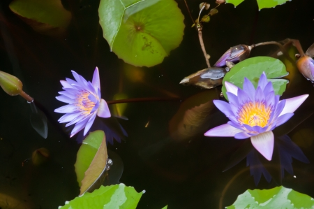 Purple lotus in the pond. photo