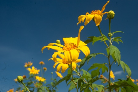 Mexican Sunflower Weed photo