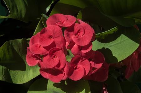 poi: Poi Sian flower