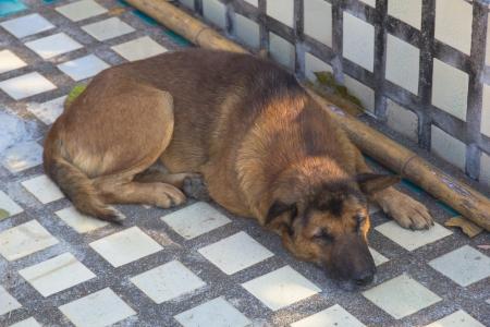 Thai dog Stock Photo - 17207228