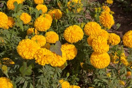 garden marigold: Garden marigold yellow