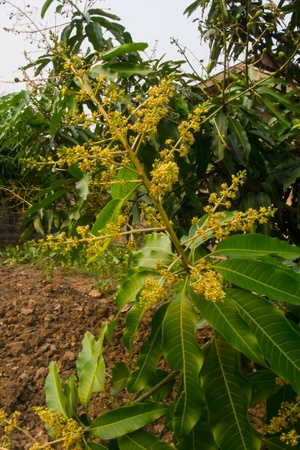 Flower of Mango in garden Stock Photo - 18004611