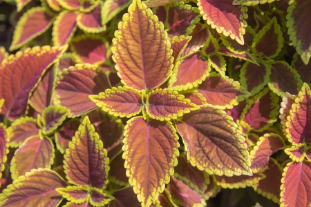 The coleus close up for background