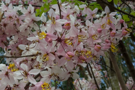 resemble: Cassia Bakeriana Craib, Beneath a tree flowering pink resemble sakura  Thailand