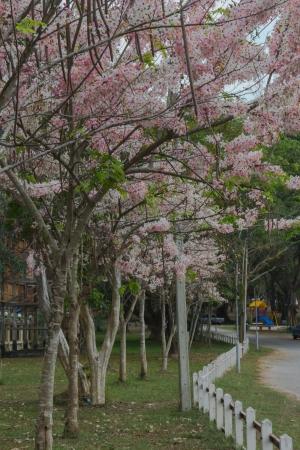 Cassia Bakeriana Craib, Beneath a tree flowering pink resemble sakura  Thailand Stock Photo - 18348971