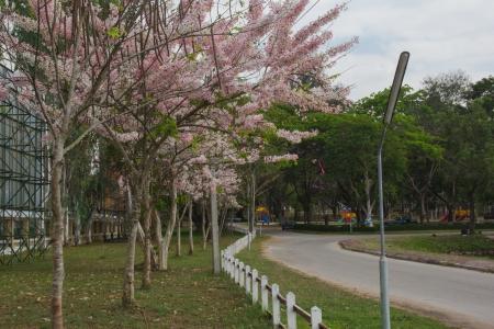 Cassia Bakeriana Craib, Beneath a tree flowering pink resemble sakura  Thailand Stock Photo - 18348978