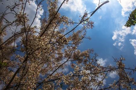 analogous: Cassia Bakeriana Craib, Beneath a tree flowering pink resemble sakura  Thailand