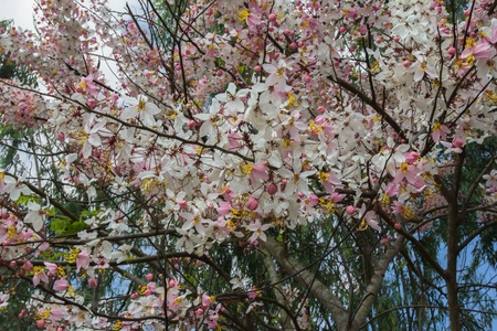 Cassia Bakeriana Craib, Beneath a tree flowering pink resemble sakura  Thailand photo