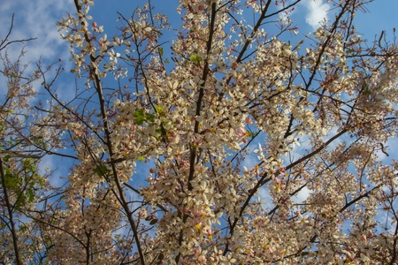 Cassia Bakeriana Craib, Beneath a tree flowering pink resemble sakura  Thailand Stock Photo - 18708863