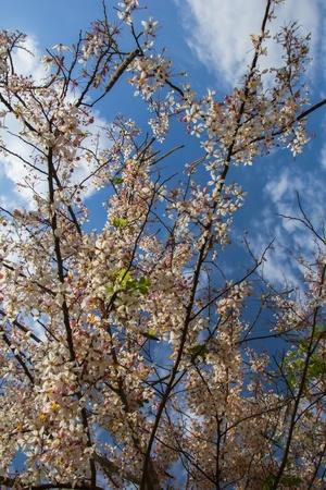 Cassia Bakeriana Craib, Beneath a tree flowering pink resemble sakura  Thailand Stock Photo - 18708862
