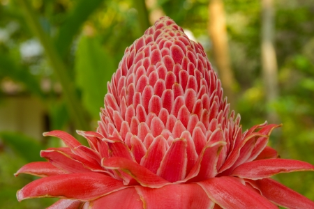 ZINGIBERACEAE,Torch Ginger,Etlingera elatior  Jack  R M  Smith  photo