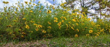 yellow cosmos flower,close-up photo
