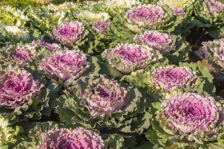Brassica Oleracea Ornamental Cabbage .Ornamental cabbage with walkway in garden photo