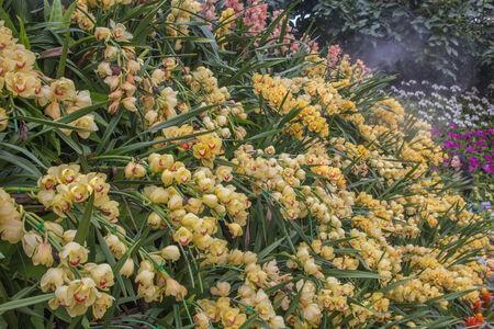 phal: Yellow Cybidium,phal .amabilis. Stock Photo