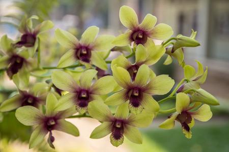 preoccupied: Orchid flower,Dendrobium,Dendrobium lindleyi,Callista Lour.Pierardia Raf. (non Roxb. ex Jack: preoccupied)