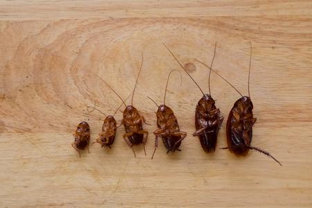 Kakkerlak, Dode kakkerlak, Eurycotis floridana