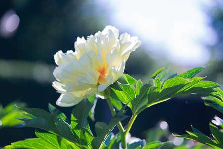 White flowers peonies flowering in park. Peonies garden. Beautiful floral background white peony flowers.