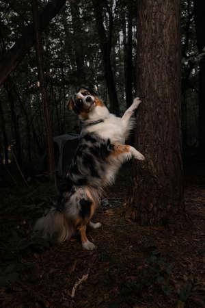 Portrait of Aussie, Australian Border Collie. Australian Shepherd. Purebreed Dog In Autumnal Forest