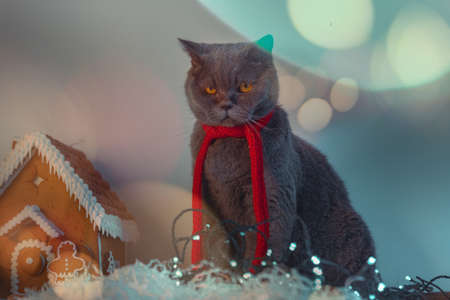 Discontent Cute British Cat With Red Scarf Frowning Near Gingerbread House and Garland. Displeased With New Year And Christmas 版權商用圖片