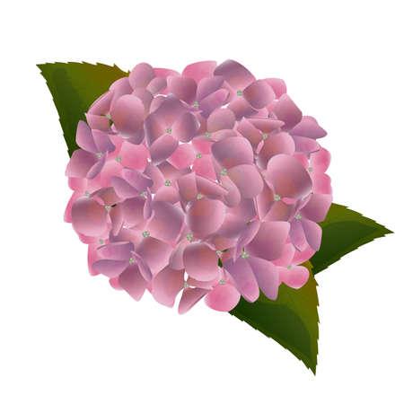 Purple Hydrangea Flowers 版權商用圖片