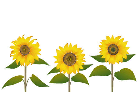 Three-wheelsunflower postcard white back - side Stock Illustratie