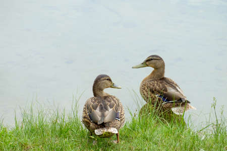 two ducks: two ducks resting on the green grass Stock Photo