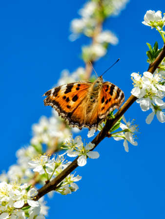 danaus: Eastern Redbud tree blooming, with a Red Spotted Purple Admiral butterfly in morning sunlight against blue sky