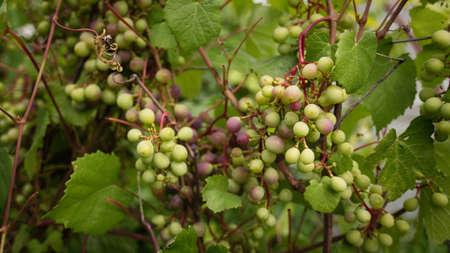 chardonnay: chardonnay Wine grapes in vineyard raw ready for harvest in Mediterranean Stock Photo