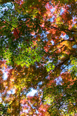Colorful maple leaves overturned like a palette