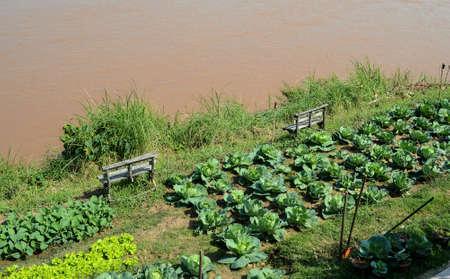 mekong: Cauliflower garden beside mekong river Stock Photo