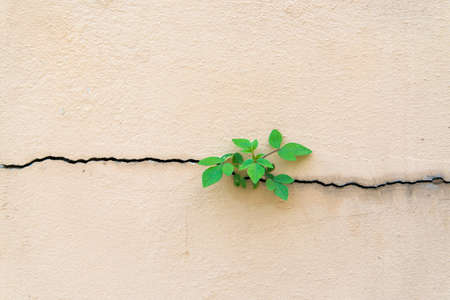 Tree growing through cracked wall Stock Photo