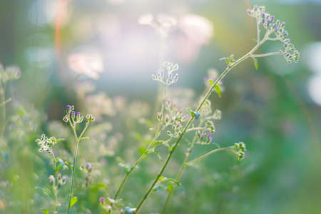 Tiny megenta grass flower,  Cyanthillium cinereum also known as little ironweed at sunset
