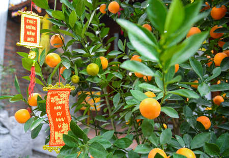Close up Vibrant orange citrus fruits on a Kumquat tree with Label in Vietnamese means Happy new Year. It s the symbol of Vietnamese Tree Tradition for Tet, Lunar New Year