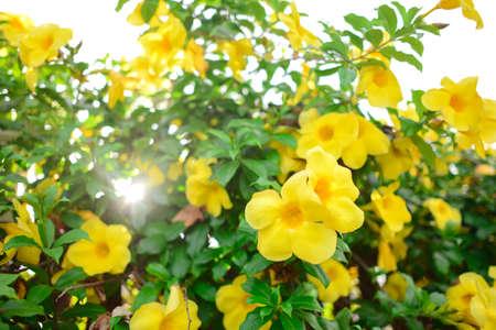 Yellow Allamanda  or Yellow trumpet flower Bush