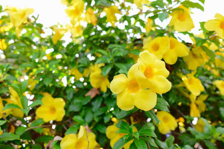 Yellow allamanda or yellow trumpet flower bush stock photo picture stock photo yellow allamanda or yellow trumpet flower bush mightylinksfo