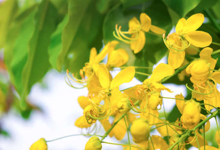 Golden Shower Tree or Cassia fistula in Khon Kaen.