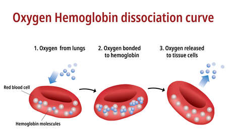 Sauerstoff-Hämoglobin-Dissoziationskurve Vektorgrafik