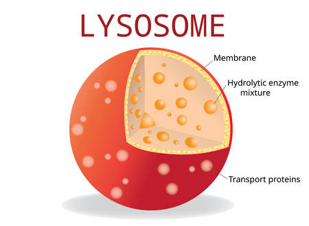 Lysosome Hydrolytic enzymes, Membrane and transport proteins, science and medical use, Vector Illustration