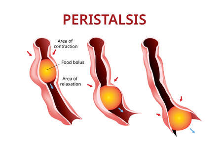 Digestion and Peristalsis. Esophagus and stomach to intestine, Vector Stock Illustratie