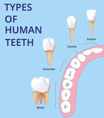 Types of Human Teeth, Human bone anatomy, Realistic design vector. Stockfoto