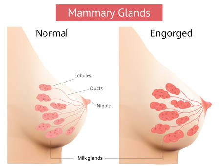 Mammary gland, Non-Lactating and Engorged breast, Female breast Anatomy, illustration Vector. Illusztráció