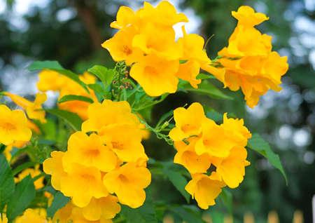 Tecoma stans, Yellow bell, Yellow elder flowers with blur background, Zdjęcie Seryjne