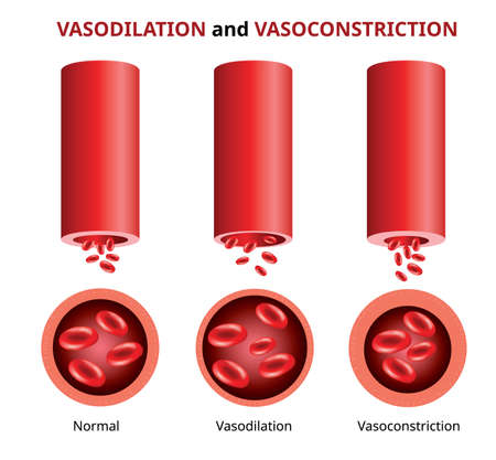 Vasodilation and vasoconstriction, Blood vessels comparison Vector illustration.