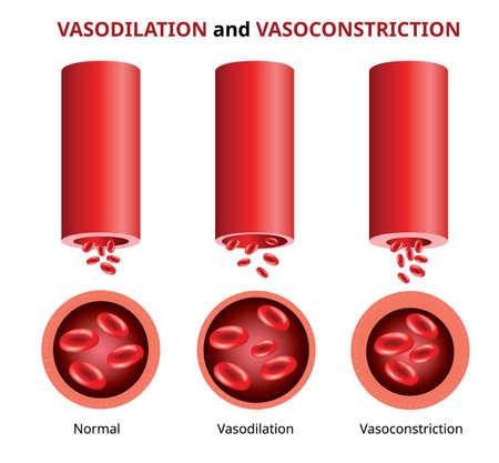 Vasodilatación y vasoconstricción, comparación de vasos sanguíneos, ilustración vectorial.