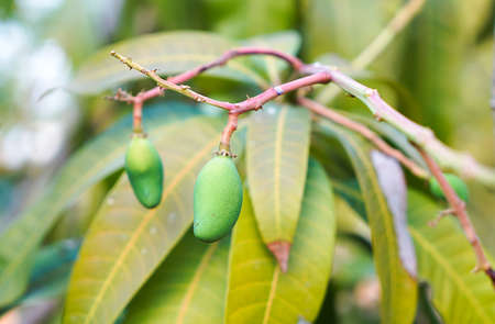 Baby Mango on the tree, Tropical fruit