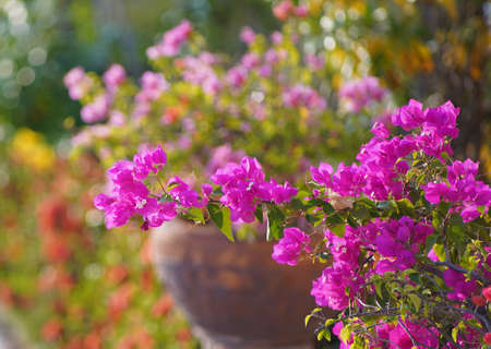 Pink Bougainvillea flowers in garden, full bloom, Closeup, Soft Dreaming looks