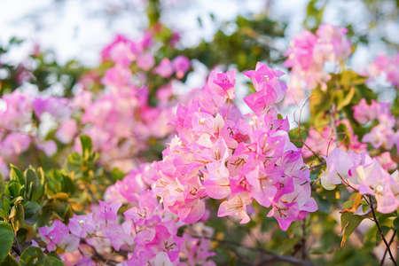 Pink Bougainvillea flowers in garden, full bloom, Closeup, Soft Dreaming looks