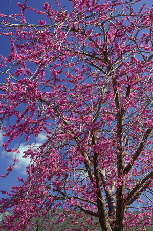 Image shows a tree full of violet flowers (cersis siliquastrum)