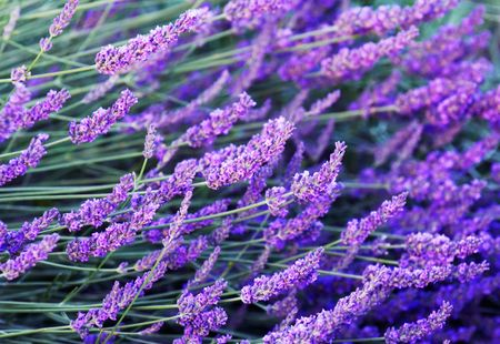 Image shows stalks with lavender flowers photographed with a shallow depth of field. (lavandula angustifolia)